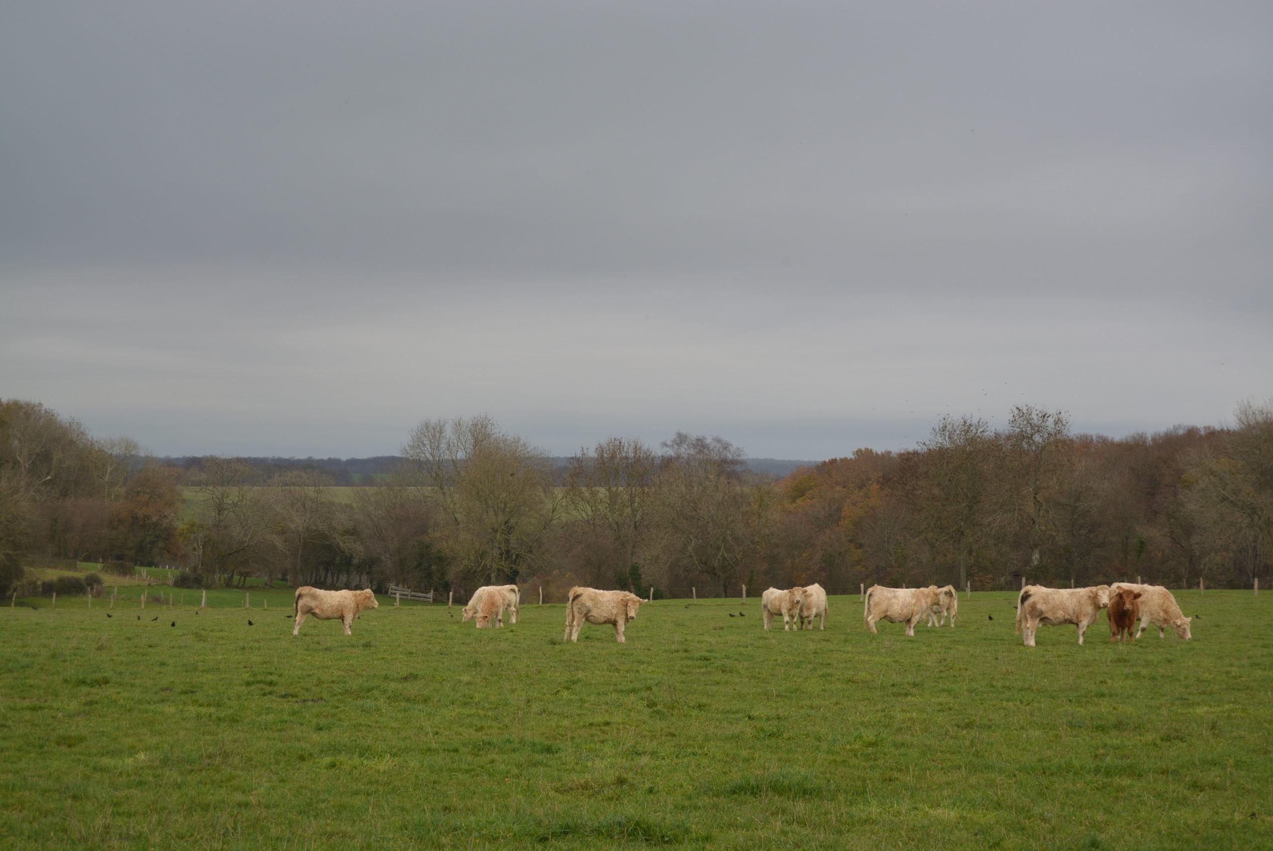 Aide bovine de 60M€ : ouverture du dispositif le 26 juillet.